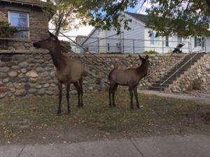 Picture fo Elk